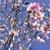 mandula · fa · virág · virág · rózsaszín · bokeh - stock fotó © nito