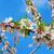 mandorla · albero · fiore · fiore · rosa · bokeh - foto d'archivio © nito