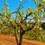 cherry tree in full bloom stock photo © nito