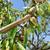 amandel · noten · boom · boerderij · landbouw · voedsel - stockfoto © nito