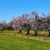 amande · arbres · arbre · domaine · paysage - photo stock © nito