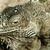 緑 · イグアナ · ツリー · 背景 · 動物 · 規模 - ストックフォト © nneirda