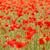 gelincikler · Portekiz · bahar · çim · bahçe - stok fotoğraf © nneirda