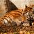 tigre · mamá · zoológico · soleado · foto · naturaleza - foto stock © nneirda