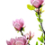 voorjaar · magnolia · boom · bloesems · witte · bloem - stockfoto © Nneirda