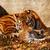 tigre · mamá · zoológico · soleado · foto - foto stock © nneirda