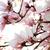 магнолия · дерево · Blossom · красивой · весны · время - Сток-фото © nneirda