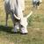húngaro · cinza · gado · tradicional · vacas · Hungria - foto stock © nneirda