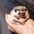 african · bianco · riccio · cute · piccolo · mano - foto d'archivio © nneirda