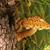 brown tree fungus stock photo © nneirda