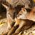 kangaroo stock photo © nneirda