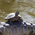 cute turtle stock photo © nneirda