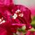 bokor · díszítő · kert · közelkép · virág · tavasz - stock fotó © nneirda