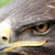 sas · madár · zsákmány · toll · fej · citromsárga - stock fotó © nneirda