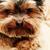 cachorro · terrier · piso · feliz · preto · jovem - foto stock © nneirda