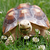 african spurred tortoise stock photo © nneirda