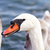 white swan stock photo © nneirda