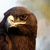 the steppe eagle stock photo © nneirda