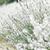 blanche · lavande · fleurs · printemps · domaine · fond - photo stock © nneirda