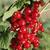 vermelho · groselha · arbusto · lata - foto stock © nneirda