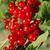 czerwony · porzeczka · Bush · lata · ogród · oddziału - zdjęcia stock © nneirda