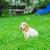 puppy · amerikaanse · vergadering · groene · gazon · gelukkig - stockfoto © O_Lypa