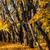 клен · деревья · желтый · листьев · осень · парка - Сток-фото © oei1