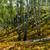 birch forest sunny autumn morning stock photo © oei1