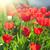brilhante · vermelho · tulipa · flor · turva · páscoa - foto stock © olira