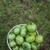 hasat · domates · bahçıvanlık · adam · yeme · iç - stok fotoğraf © olira