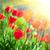 tulips stock photo © olira