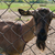 goat portrait closeup stock photo © olira