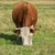 grazing cow in mountain ranch stock photo © olira