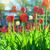 primavera · beleza · vermelho · tulipas · naturalismo · borrão - foto stock © olira