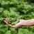свежие · саду · огурцы · травы · приготовления · деревянный · стол - Сток-фото © olira