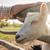 внутренний · коза · парка · аллеи · ребенка - Сток-фото © olira