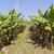 Banana plantation in Taiwan stock photo © oliverfoerstner