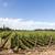Beautiful vineyard in Mendoza, Argentina stock photo © oliverfoerstner