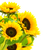 sunflowers border stock photo © olivier_le_moal
