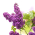 orgona · virágok · öreg · fából · készült · virág · fa - stock fotó © olivier_le_moal