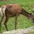 red deer stock photo © oorka