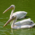 pelicans stock photo © oorka