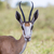 Springbuck close up stock photo © ottoduplessis