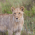 groot · gouden · jeugdig · naar · natuur · afrika - stockfoto © ottoduplessis