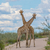 Giraffes crossing necks stock photo © ottoduplessis