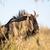 niebieski · stałego · sawanna · trawy · pola - zdjęcia stock © ottoduplessis