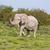 слон · ходьбе · зеленый · деревья - Сток-фото © ottoduplessis