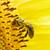 arı · sarı · çiçek · makro · görüntü · bal · arısı · sarı - stok fotoğraf © pakhnyushchyy