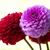 roze · dahlia · bloesem · mooie · tuin · bloem - stockfoto © pakhnyushchyy