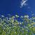 witte · groen · gras · bloem · bloemen · natuur · landschap - stockfoto © pakhnyushchyy